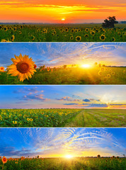 Set of morning sunflower fields
