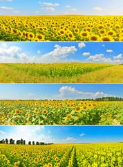 Set of sunflower fields