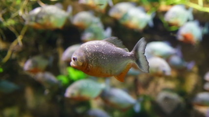 Piranha - Colossoma macropomum