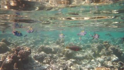 Coral reef in the Maldives (Abudefduf saxatilis).