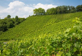 Vineyard on hill in Nordrhein-Westfalen, Germany