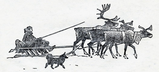 Reindeers (Rangifer tarandus) pull pulks