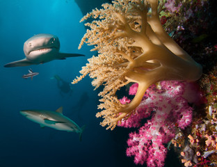Coral reef with sharks