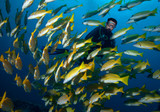 School of yelow fish and diver