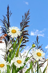 chamomile flowers and blue sky with clouds