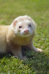 Piston the ferret