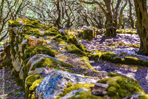 Tuinposter Olijfboom Old beautiful Olive grove in Krini at Corfu Island Greece