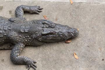 Sun bath crocodile on cement ground