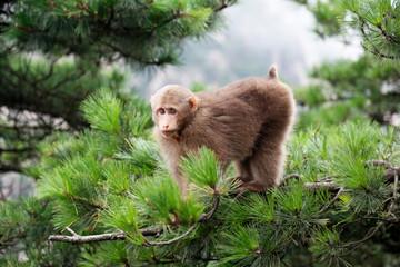 Tibetan Macaca monkey at the Huangshan Mount, China