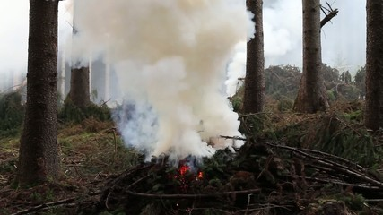 Burning spruce branches and rising smoke. Cleaning the forest.