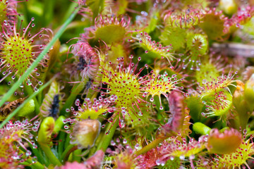 Sundew Colorful Abstraction