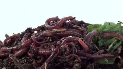 Redworms Eisenia fetida on compost. Larvae of worms and woodlice