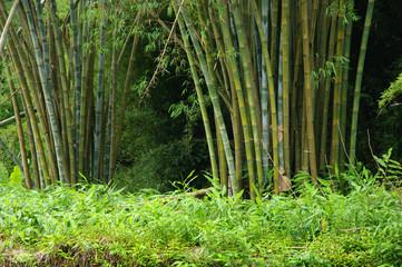La Réunion - Bambous