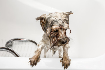 Yorkshire Terrier bathe in a bathtub