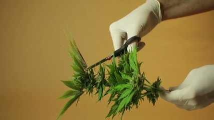 Hands trimming marijuana buds and leaves.