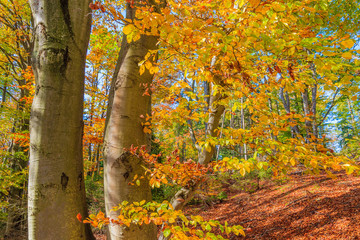 Colorful leaves on trees in forest in autumn, Pieniny Mountains