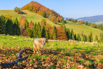 Sheep grazing on green meadow in Pieniny Mountains, Poland