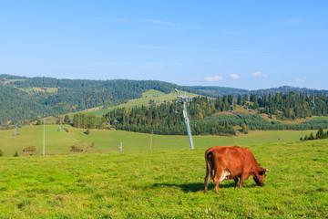 Cow grazing on green field near ski lift in Pieniny Mountains