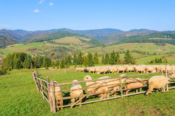 Sheep in pen on sunny autumn day, Pieniny Mountains, Poland