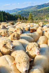 Sheep in pen on sunny autumn day, Pieniny Mountains, Poland