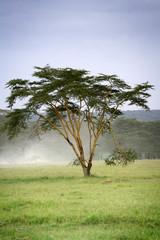 Acacia fièvre jaune