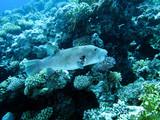 Riesenkugelfisch - Arothron stellatus