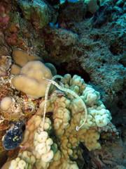Netzseenadeln - Corythoichthys flavofasciatus