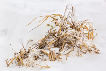 Dry leaves of irises in white frost