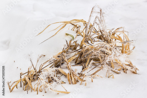 Foto op Canvas Iris Dry leaves of irises in white frost