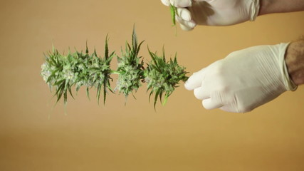 Hands trimming and manicuring marijuana buds.