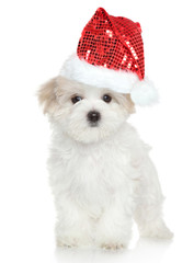 Maltese puppy in Santa red hat