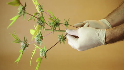 Hands trimming and manicuring marijuana buds and leaves.