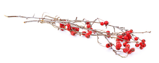 Twig of hawthorn, isolated on white