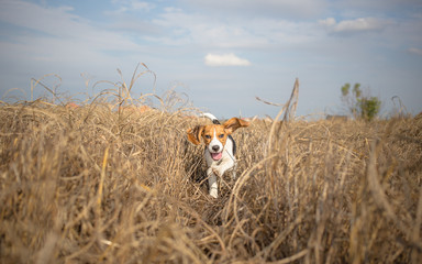 Beagle running happy over the meadow