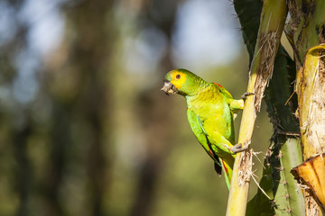 Blue-Fronted Amazon Parrot Eating While Hanging from Palm Stem