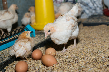 Chicken egg farm breeding