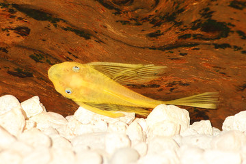 pleco catfish blue eye bushybose Ancistrus dolichopterus