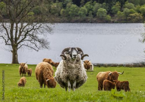 Foto op Aluminium Schapen Scottish cattle and sheep - long hair, mighty horn, Scotland