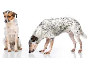 Mischlingshunde