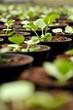 Young transplanted seedlings in a nursery