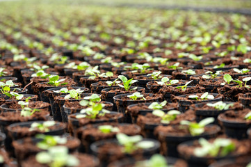Transplanted seedlings at a nursery