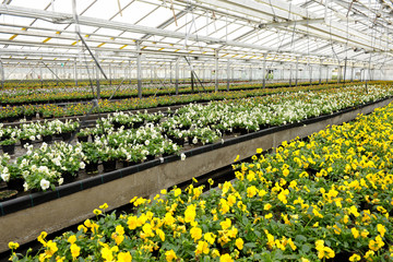 Violets being cultivated in a greenhouse