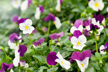 Pretty variegated white and purple violet
