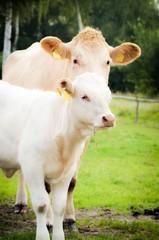 Mutterkuhaltung, weiße Kuh mit Kalb auf einer Weide