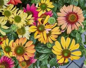 variety of Gerber daisies closeup, natural background