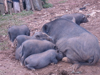 Feeding baby (Lao local pig)