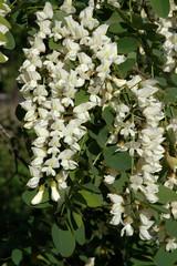 acacia, robinier, Robinia pseudacacia