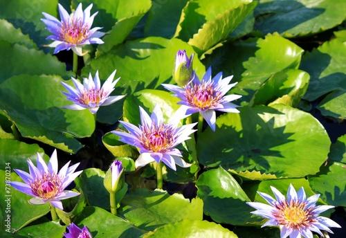 Fotobehang Water planten Seerosen