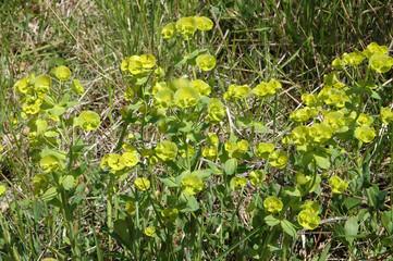 euphorbe puplus, Euphorbia peplus