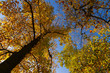 canvas print picture - Autumn colored national tree of state Indiana - liriodendron